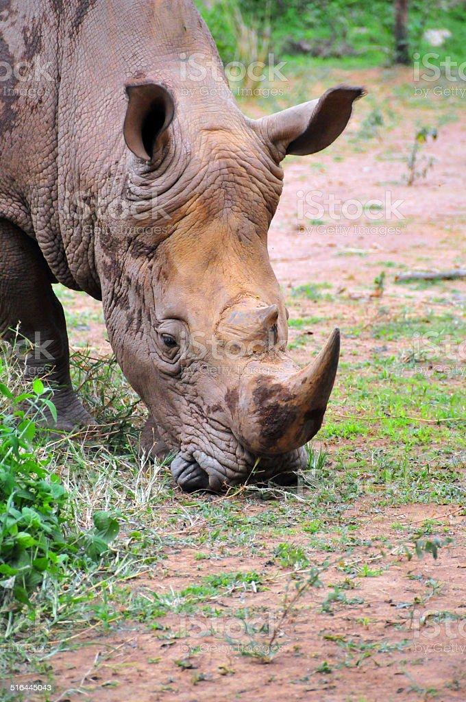 White rhinoceros - head front view stock photo