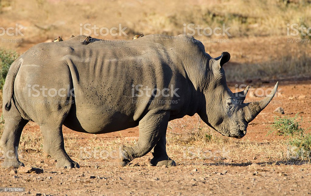 White Rhinoceros in Evening Light- South Africa stock photo