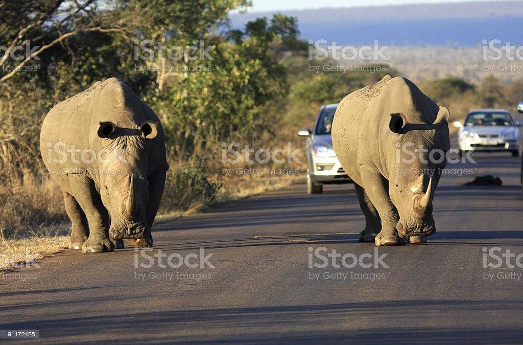 White Rhinoceros in Kruger Park, South Africa royalty-free stock photo