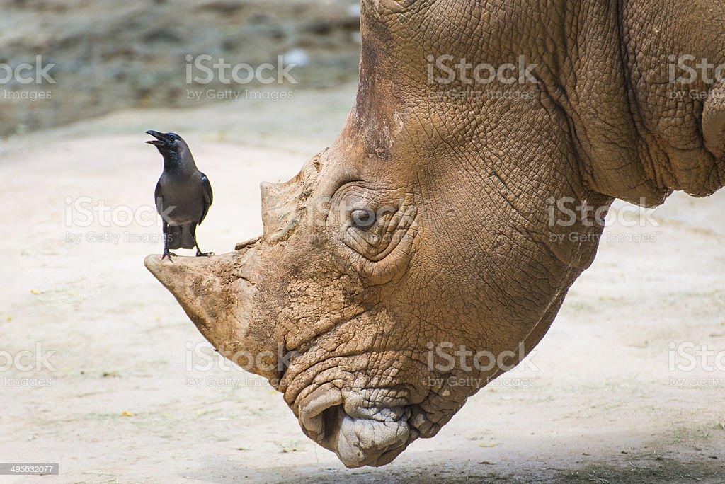White Rhinoceros in wildlife, big & small friends. stock photo