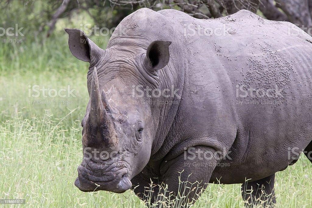 White rhinoceros royalty-free stock photo
