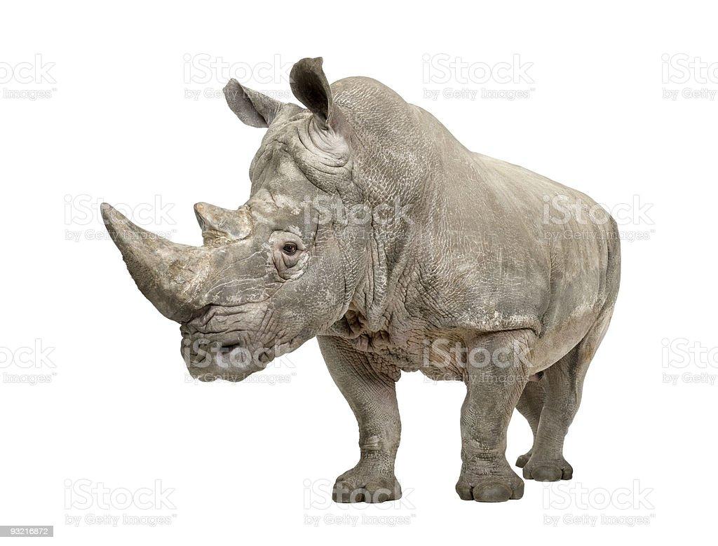 White Rhinoceros ( +/- 10 years) stock photo