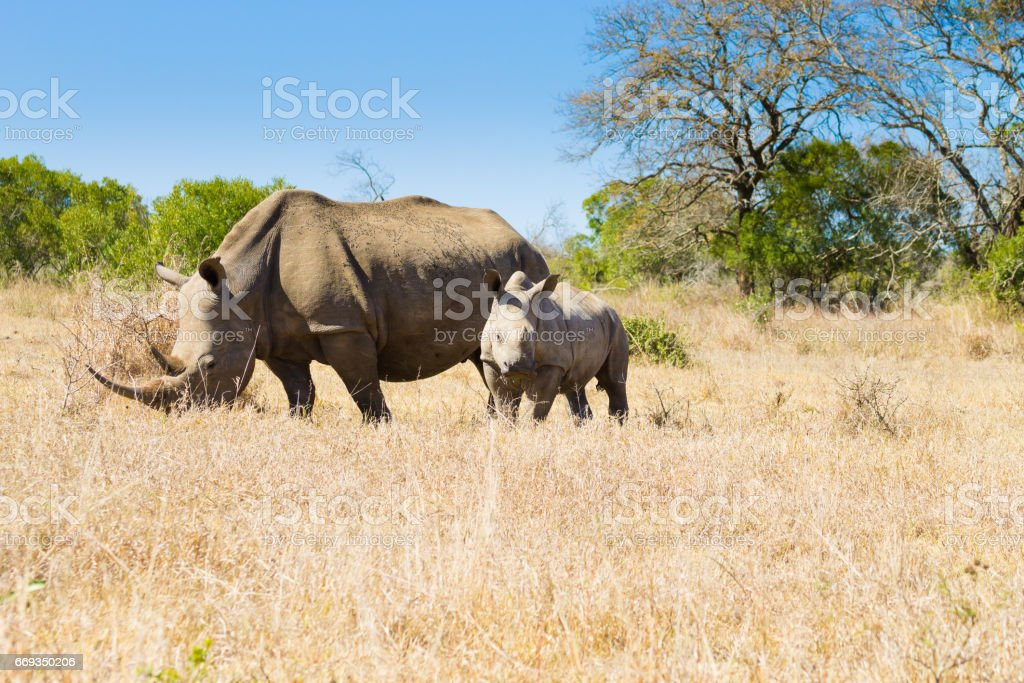 White rhinoceros with puppy, South Africa stock photo