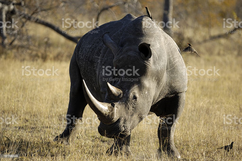 White Rhinocerus in Sabi Sands Private Game Reserve stock photo
