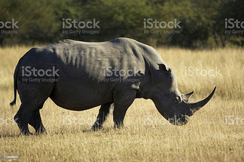 White rhinocerus royalty-free stock photo