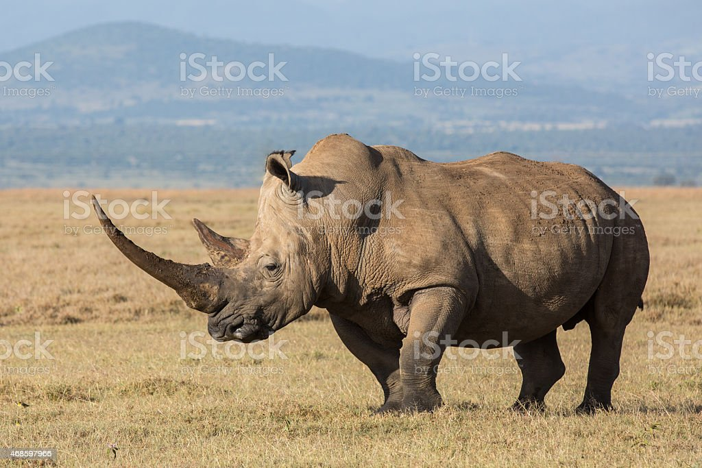 White rhinocerus with large horn stock photo