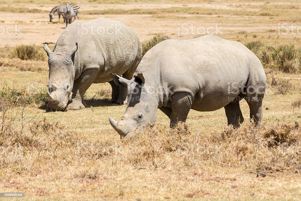 White Rhinos and Zebras stock photo