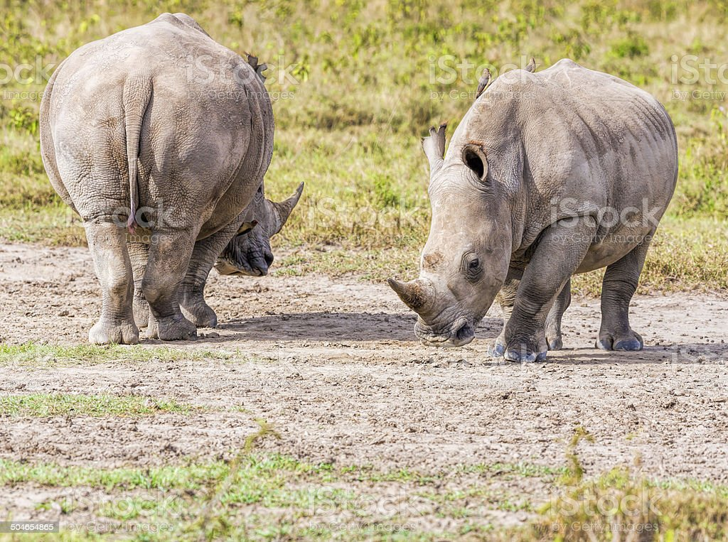 White Rhinos - back and front royalty-free stock photo