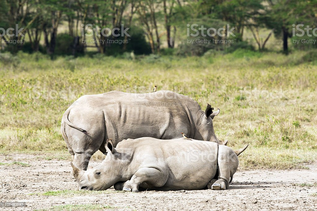 White Rhinos - double horns / Female and Male royalty-free stock photo