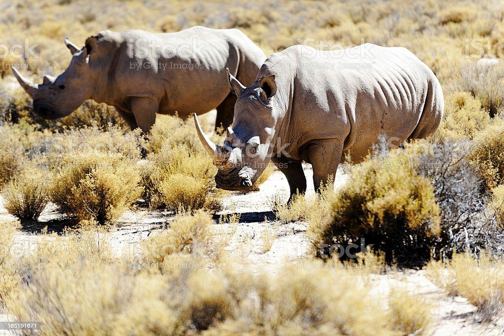White Rhinos royalty-free stock photo