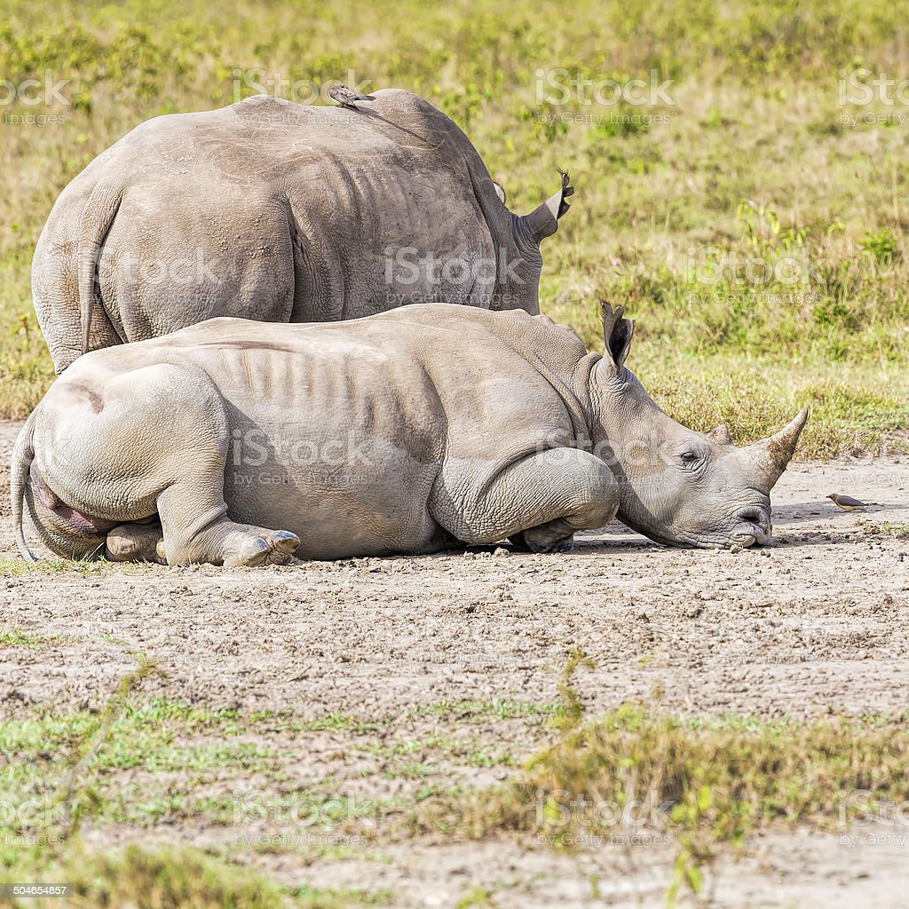 White Rhinos with red-billed Oxpecker royalty-free stock photo
