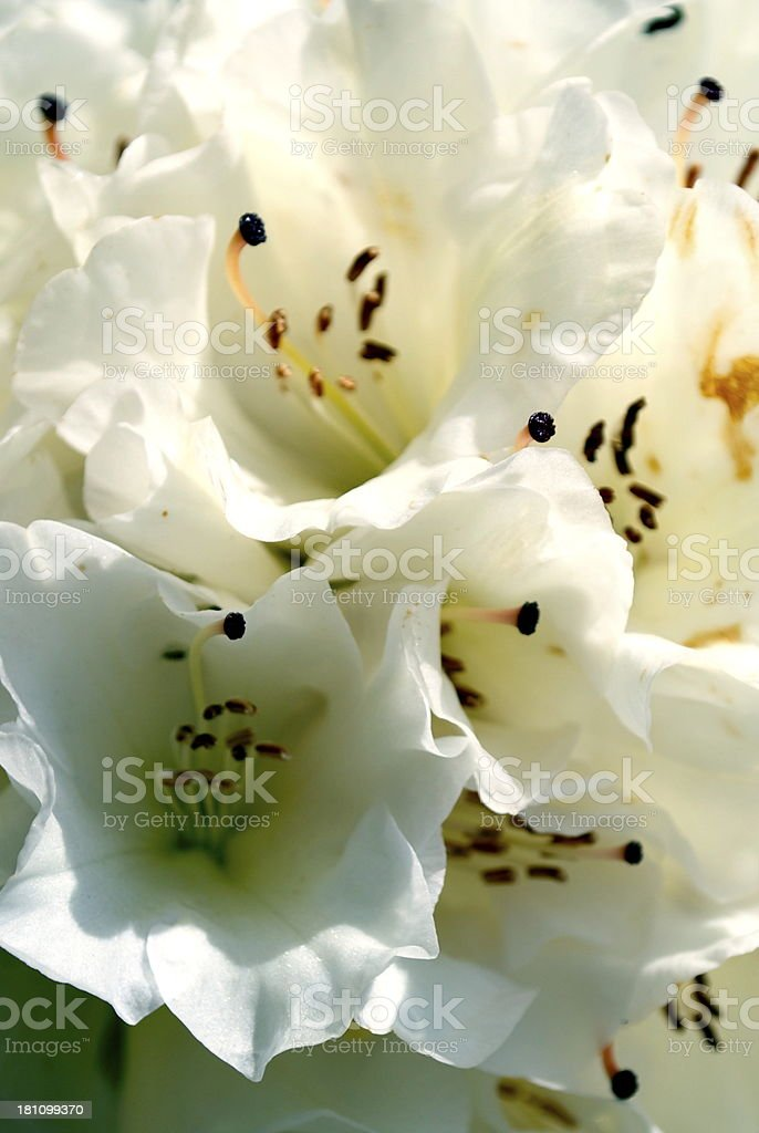 White Rhododendron Background royalty-free stock photo