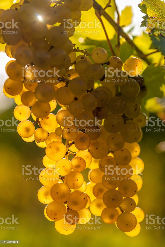 White Riesling Grapes in an European Vineyard stock photo