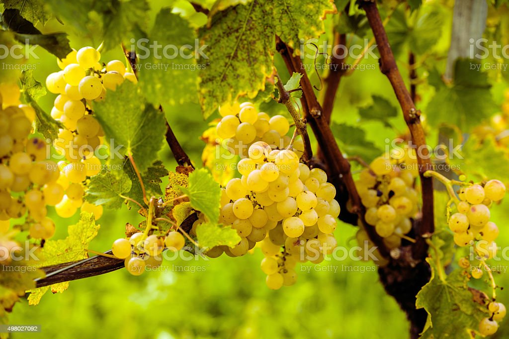 White Riesling Grapes in an European Vineyard, Slovenia stock photo
