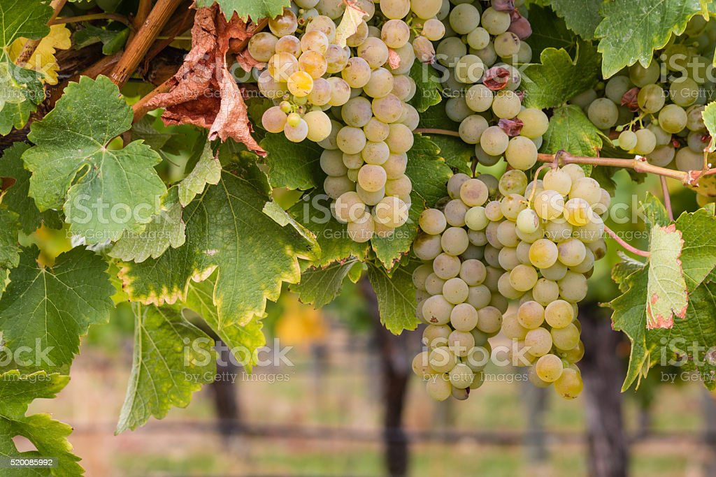 white riesling grapes on vine stock photo