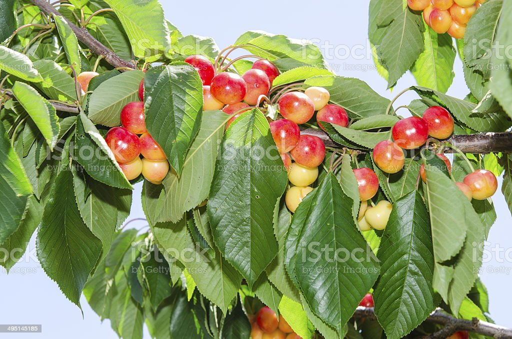 White ripe cherry berry fruits on the tree stock photo
