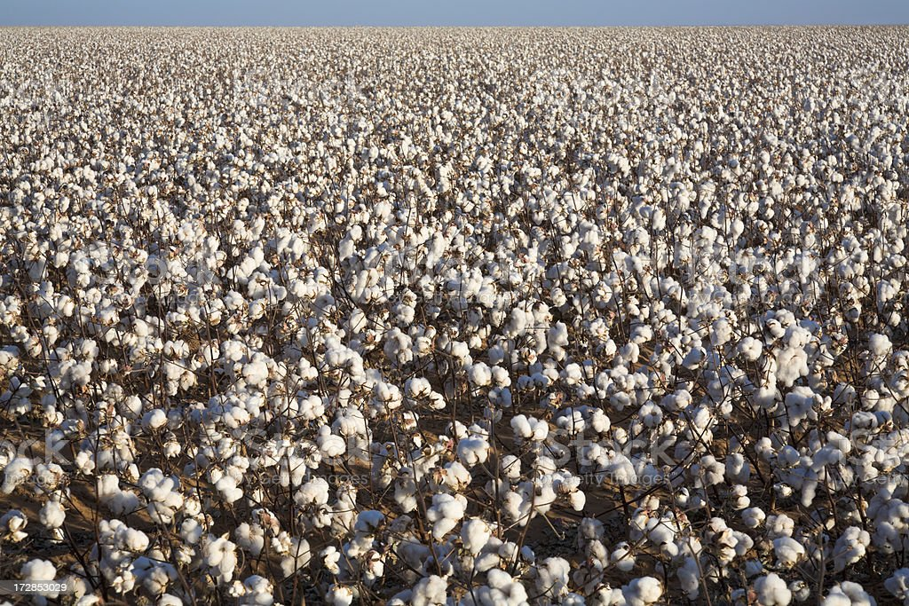 white ripe cotton field ready for harvest stock photo