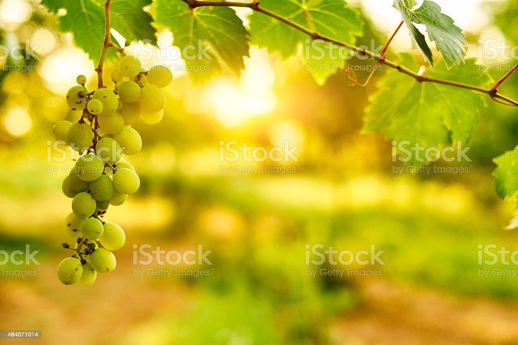 White ripe grape clusters stock photo