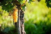 White Ripe Grape
