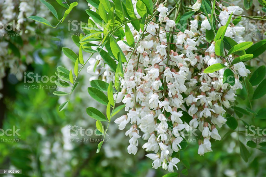 White Robinia pseudoacacia tree, False acacia, Black locust plant stock photo