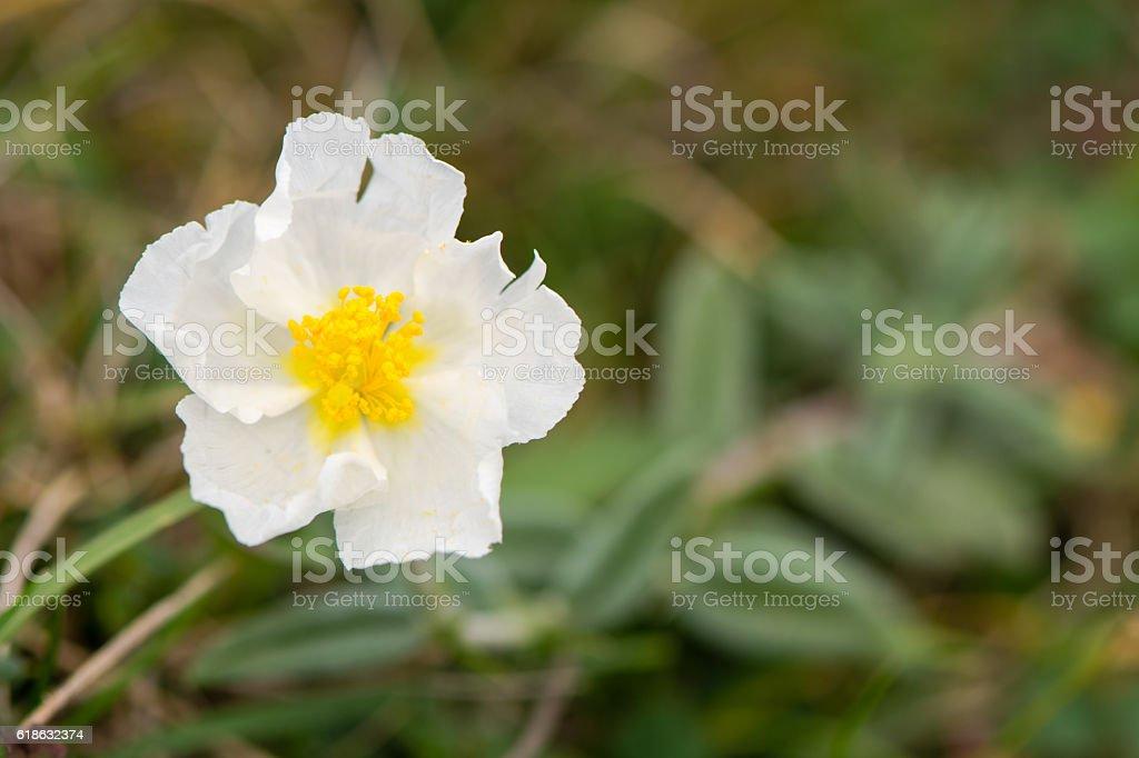 White rock rose (Helianthemum apenninum) flower stock photo