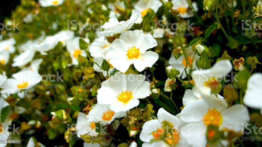 White Rockrose (Cistus hybridus) flower stock photo
