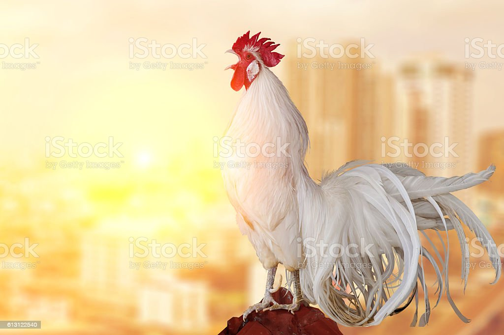 White Rooster chicken cockcrow on morning stock photo