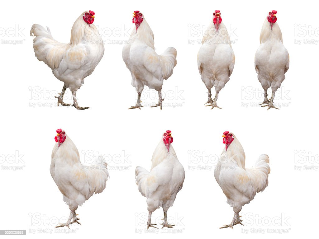 White Rooster, Cock or Chicken isolated on a white background stock photo