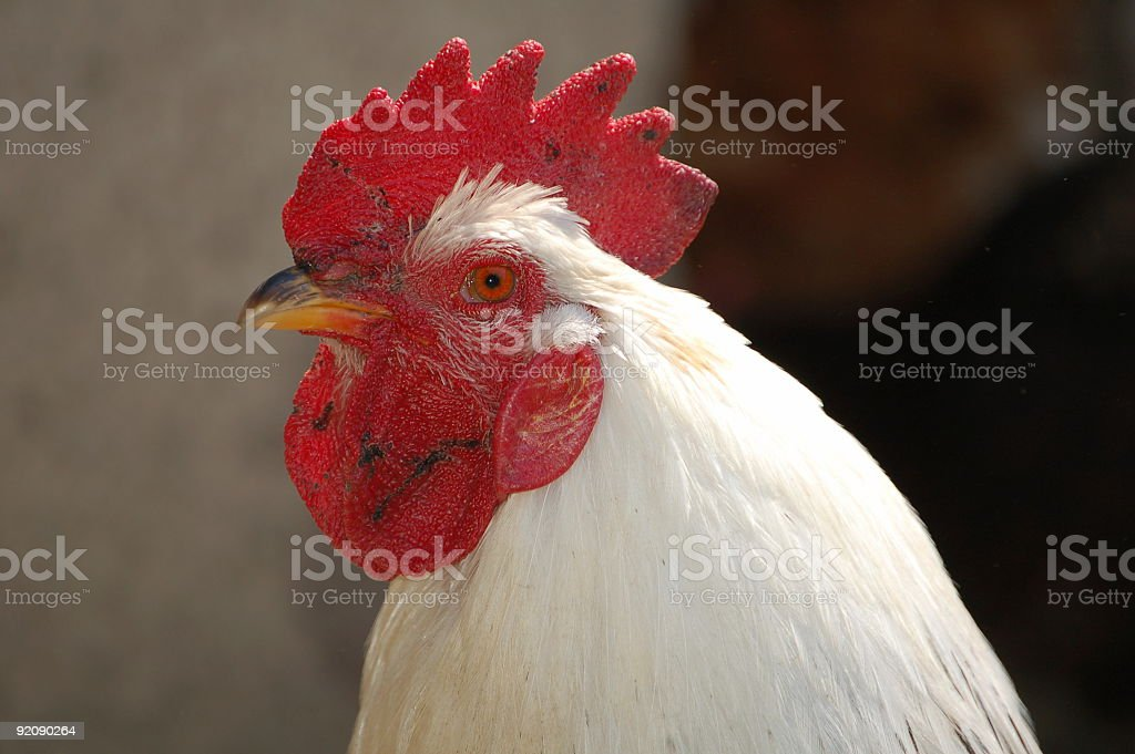 White Rooster stock photo
