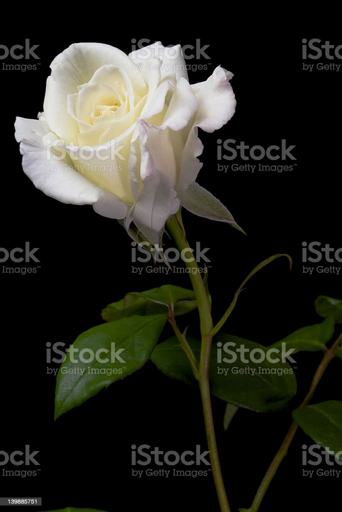White Rose 2 royalty-free stock photo