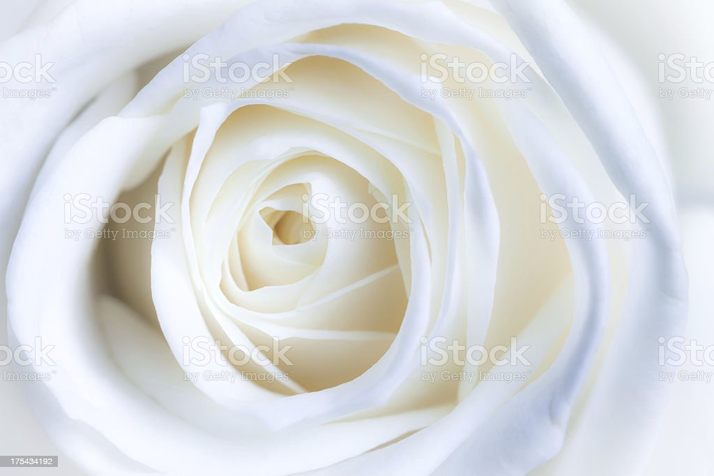 White rose abstract background royalty-free stock photo
