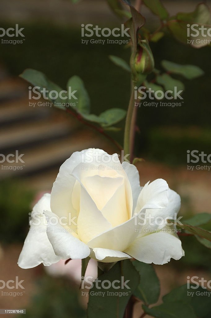 White rose and blossom royalty-free stock photo