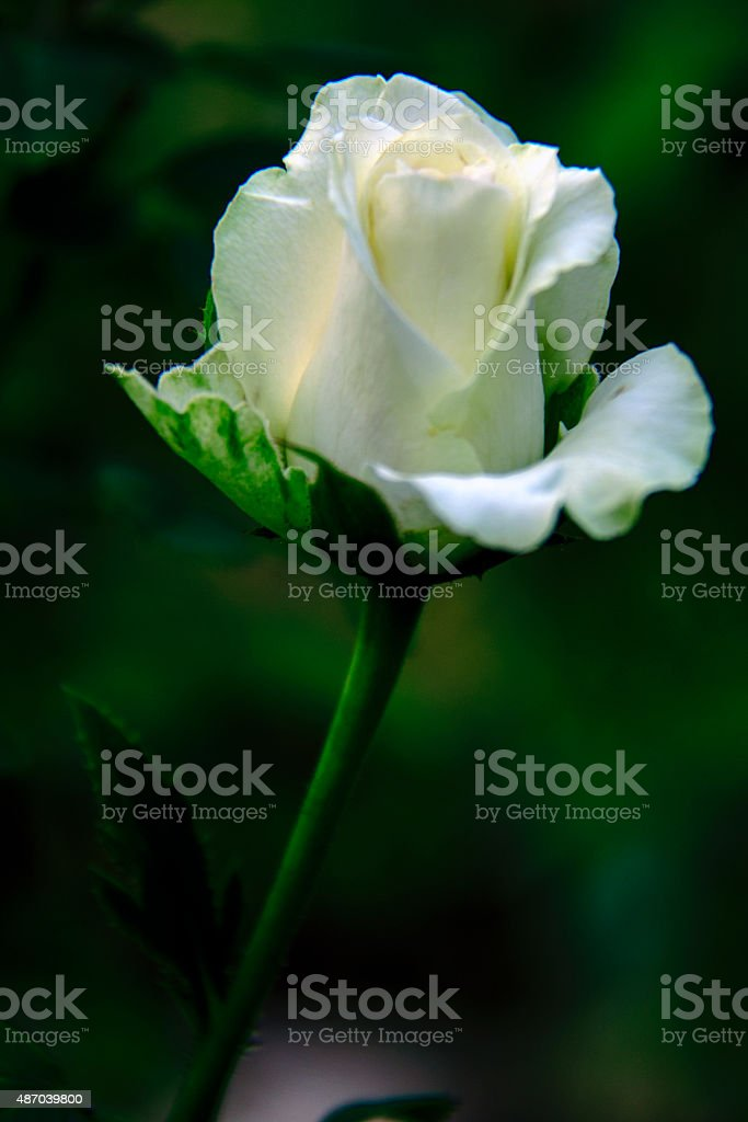 white rose and love,rosebud stock photo