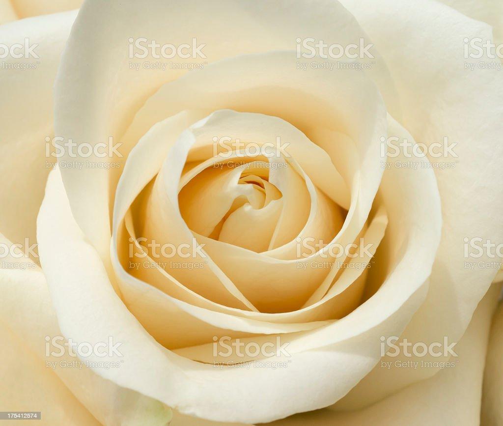 White rose blossom stock photo