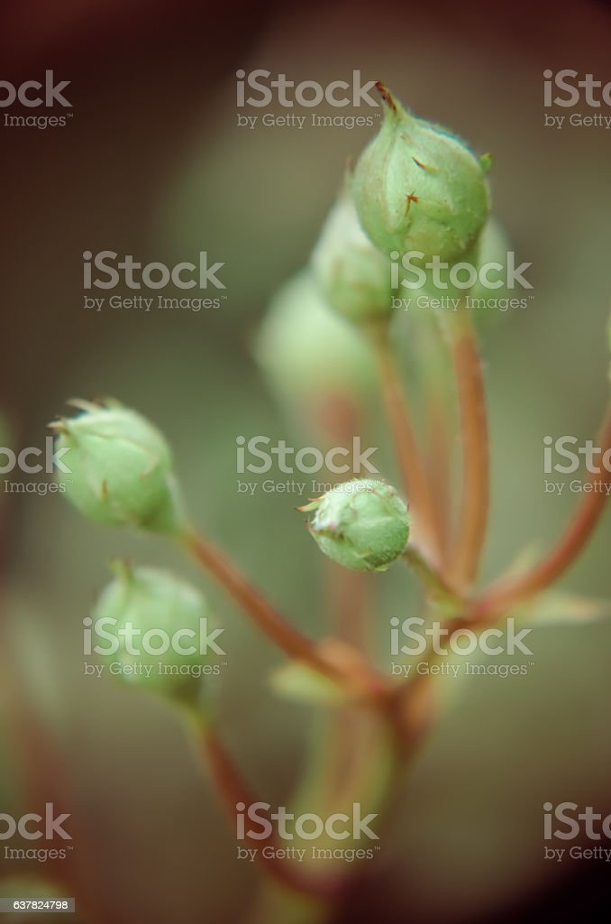 White rose bud on a garden background. New buds. stock photo