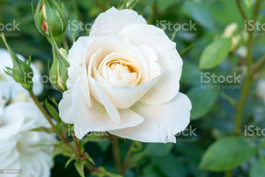 White Garden Rose Bush white rose bush in a border of a park in a rural scene in the