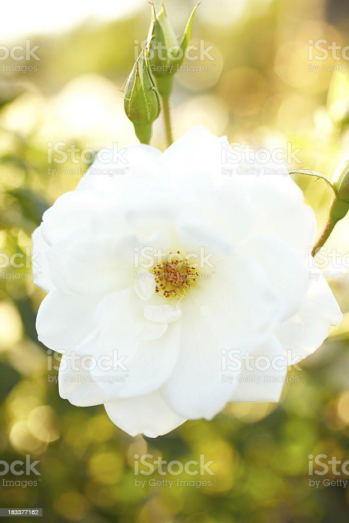 White rose bush stock photo