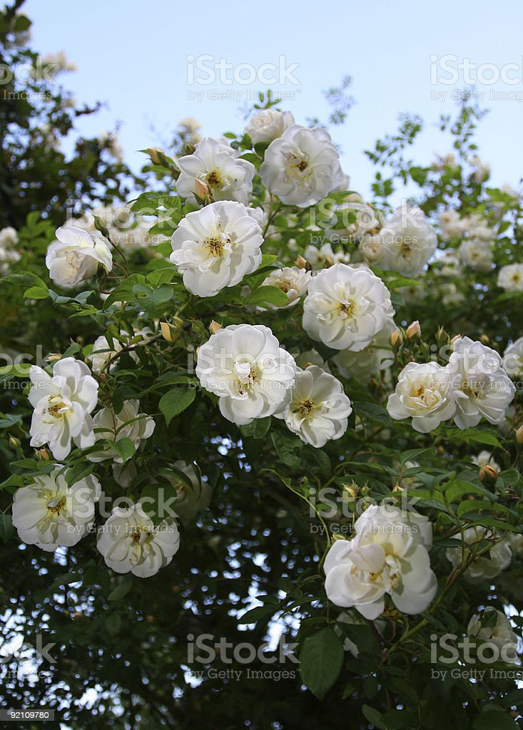 White Rose Bush royalty-free stock photo
