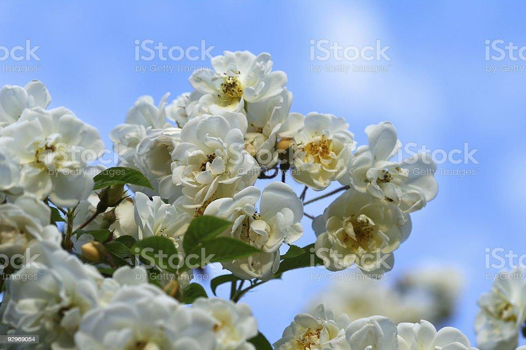 White Rose Bush royalty-free stock photo