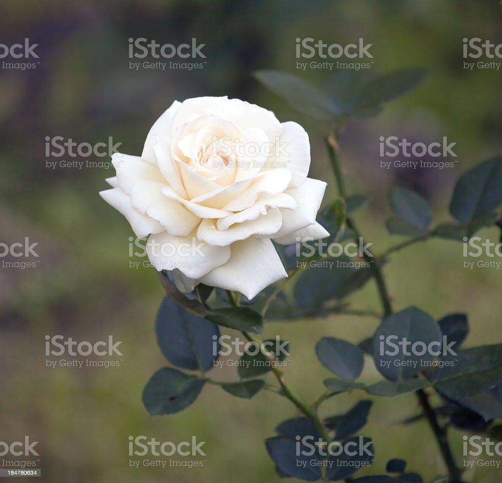 White rose in the garden. stock photo