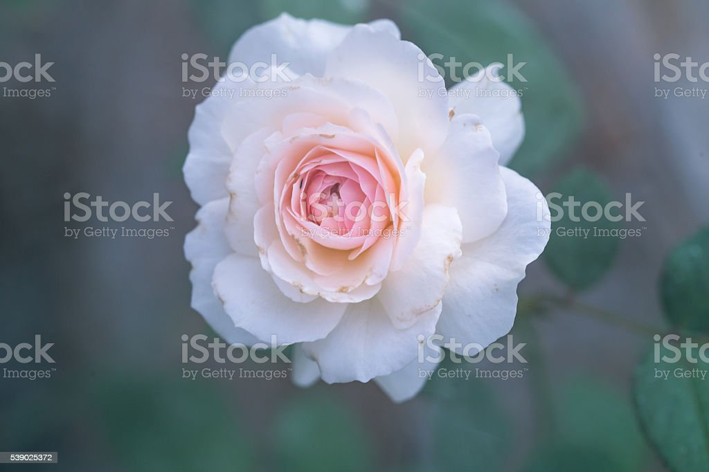 white rose in the morning with smoke at background stock photo