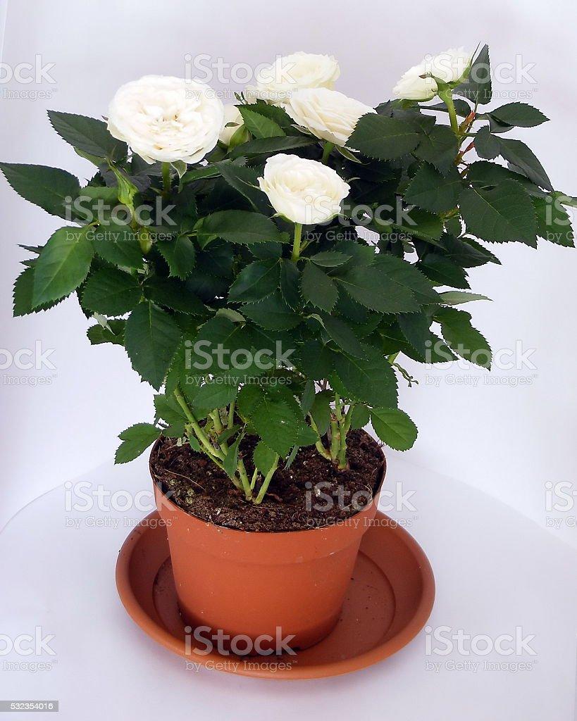 White rose in tile stock photo