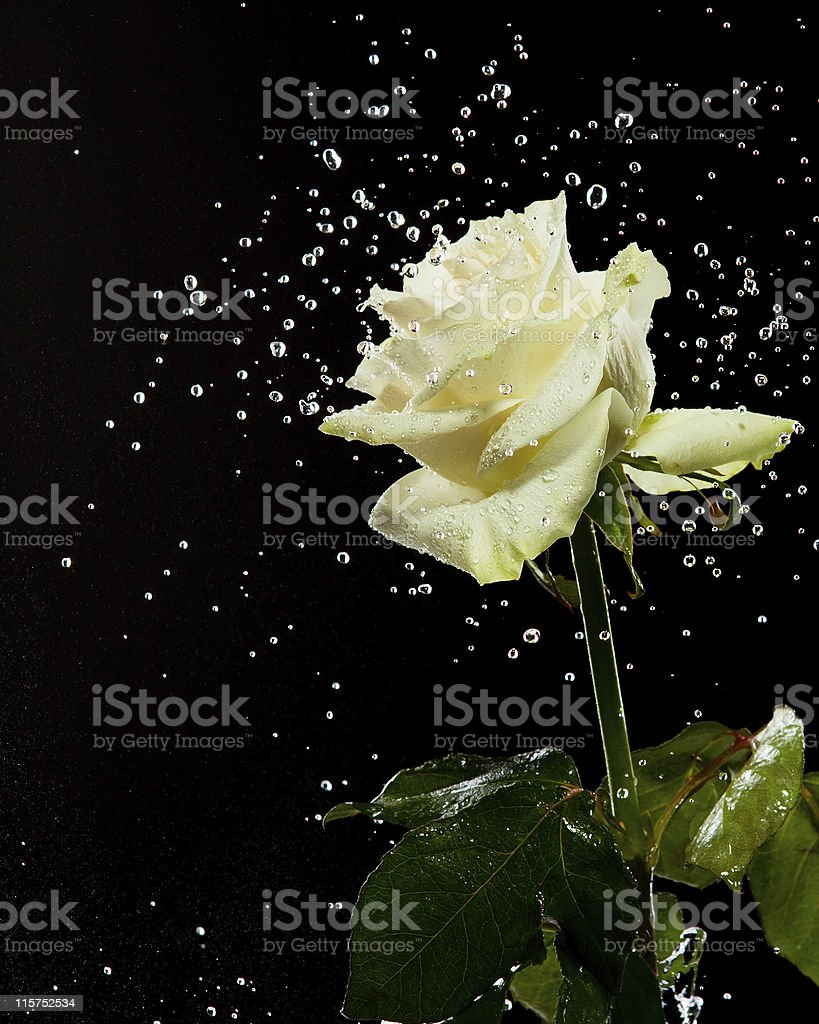 White rose in water splashes on a black background. royalty-free stock photo