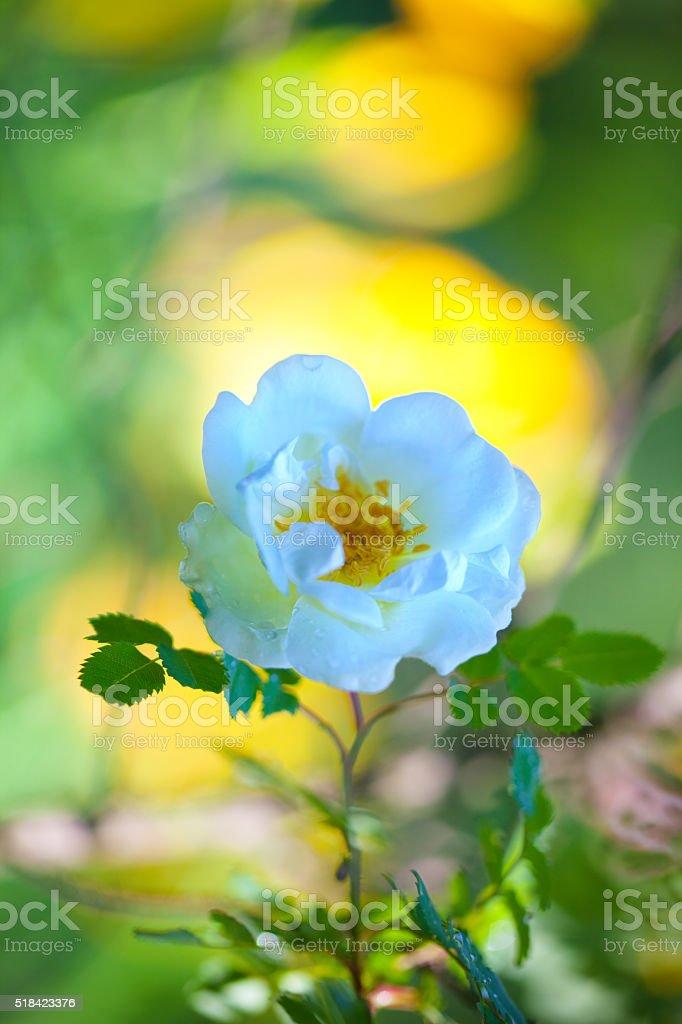 White rose of rosehip stock photo