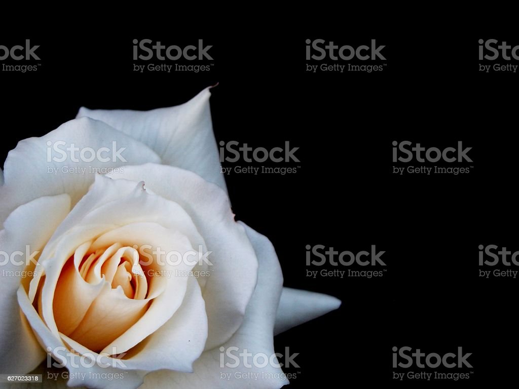 White rose on a black background stock photo