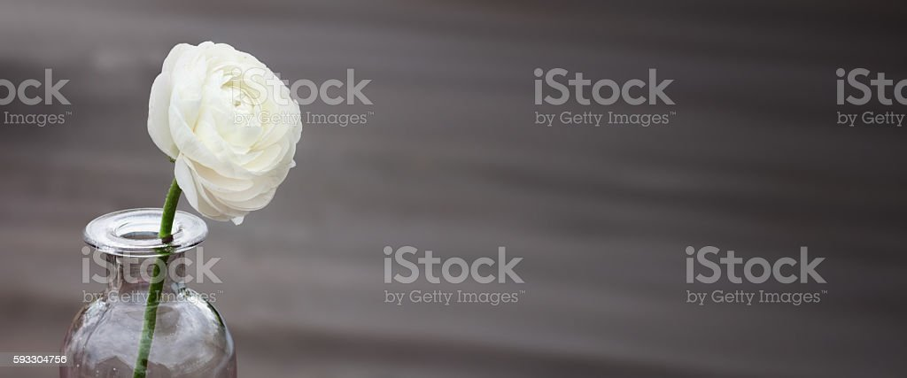 White rose on a dark background stock photo