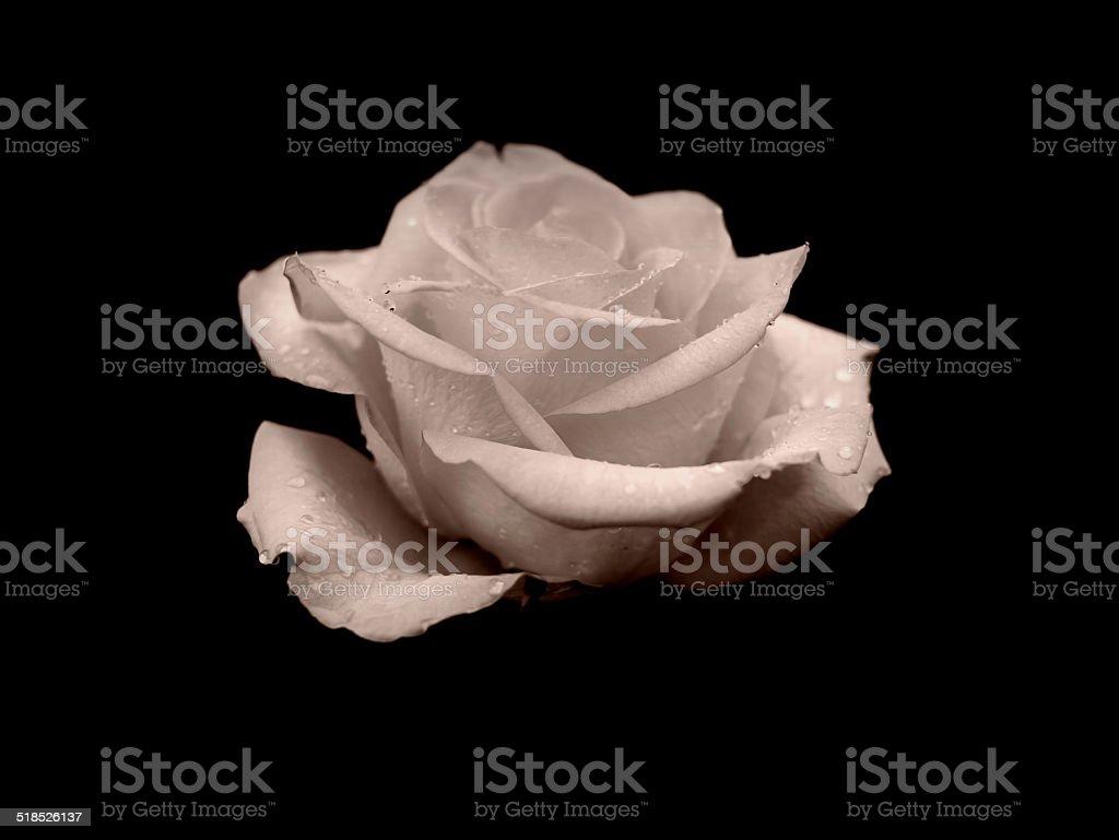 White rose on black royalty-free stock photo