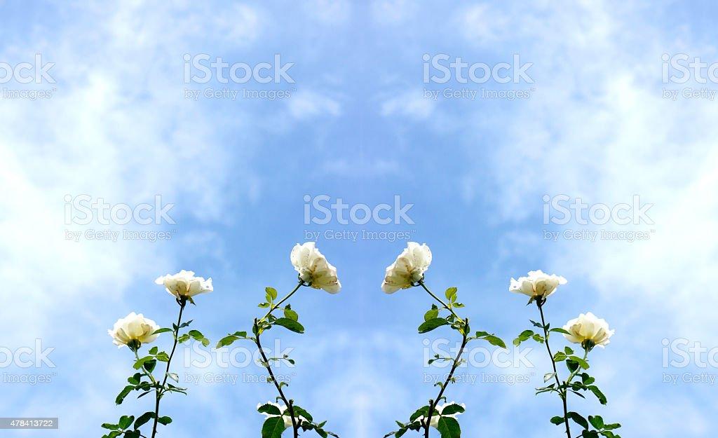 white rose on blue sky royalty-free stock photo