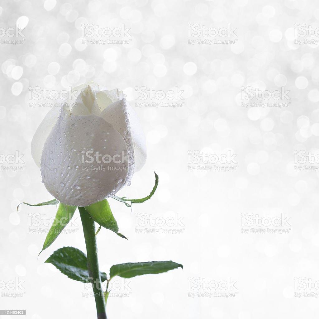 White rose on glittering background stock photo