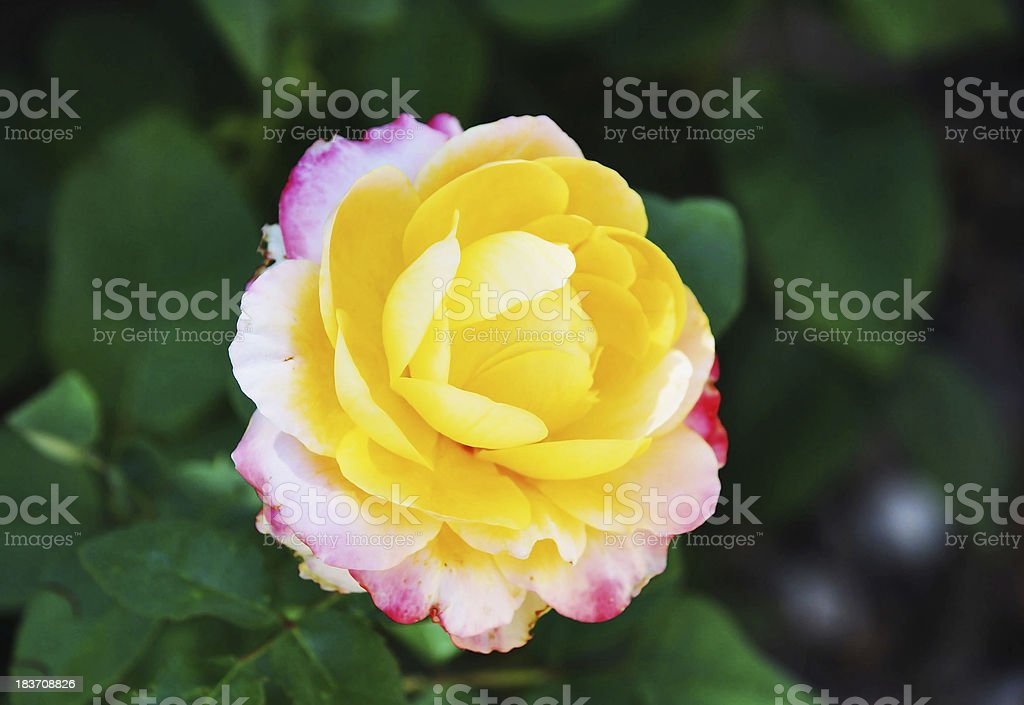 White rose on green royalty-free stock photo